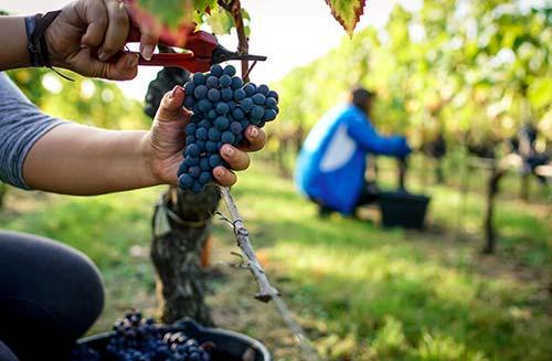 Travail de la vigne au Château la Clémence